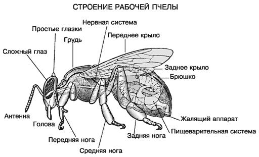 http://domik-meda.narod.ru/stroenie-pchel.png